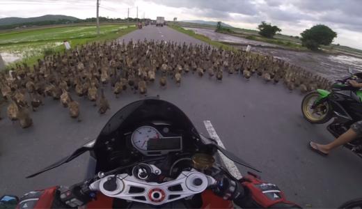 バイクで田舎を走っていると、道路に大量のアヒルが・・・