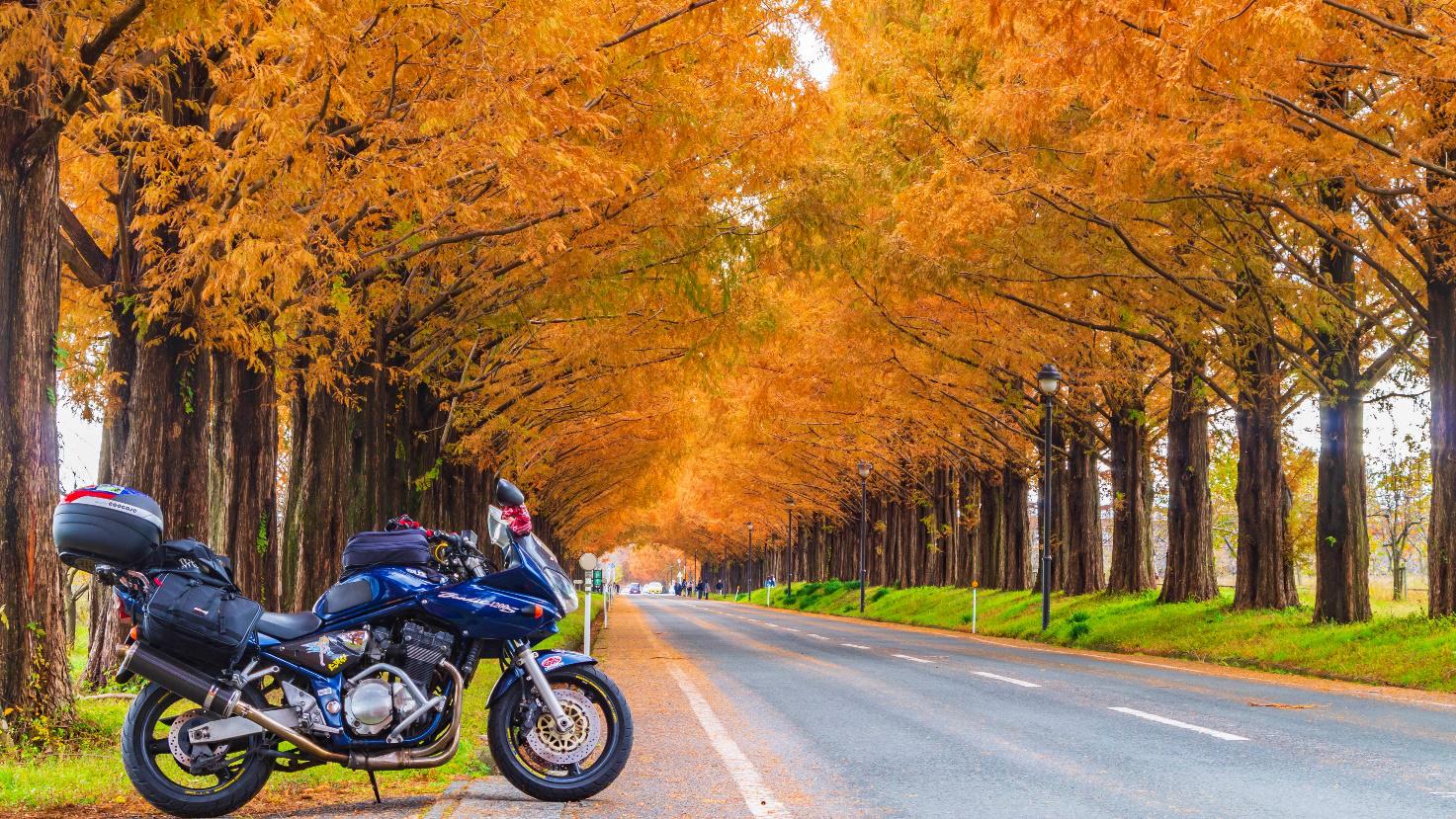 マキノのメタセコイア並木(滋賀県)